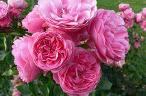 Rose-of-Leonardo-da-Vinci3