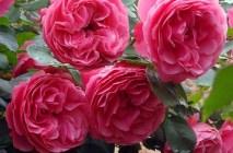 Rose-of-Leonardo-da-Vinci5