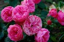 Rose-of-Leonardo-da-Vinci6