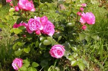 Rose-of-Leonardo-da-Vinci8
