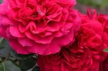 Rose-of-Leonardo-da-Vinci9