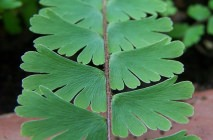 maidenhair15