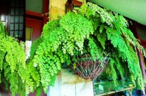 maidenhair6