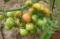 tomato-10