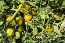 tomato-12