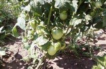 tomato-14