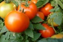 tomato-15