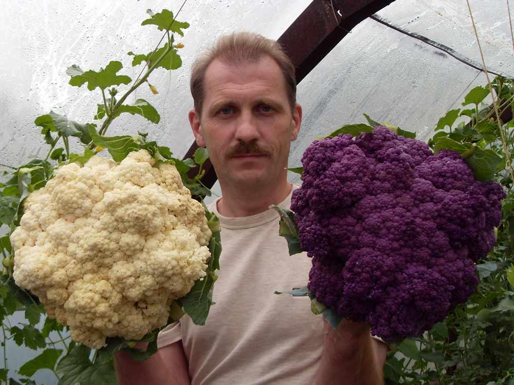 Выращивание цветной капусты становится популярнее год от года