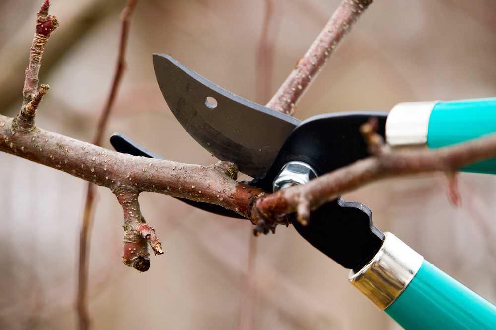 Обрезку абрикоса нужно производить до начала сокодвижения или после его окончания