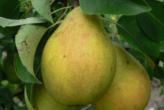 Срок созревания и сбора урожая сорта «Лада» приходится на август