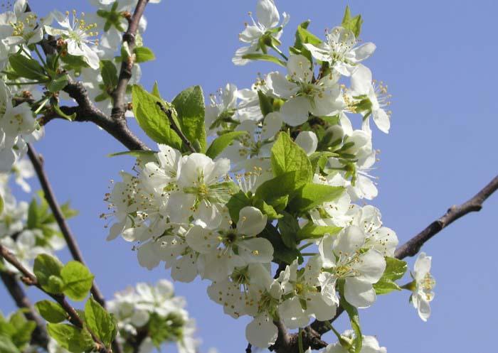 В стадию плодоношения груша «Любимица Яковлева» вступает на пятый год после высаживания на постоянное место