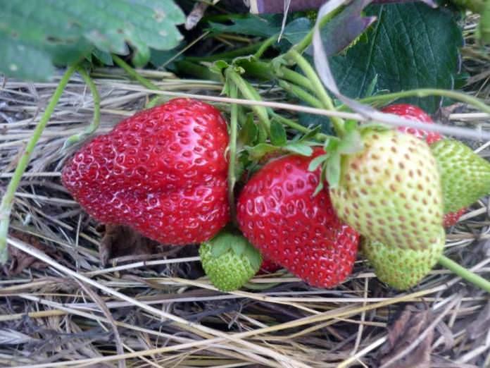 Сорт «Заря» прекрасно адаптирован для выращивания в тепличных условиях