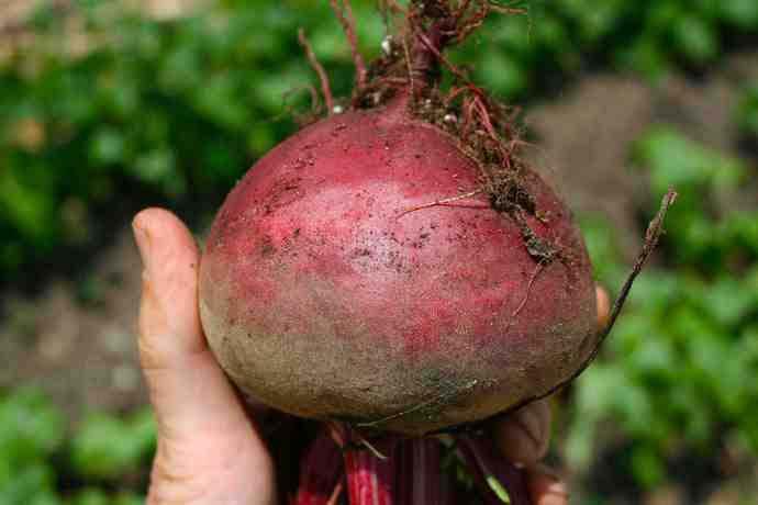Свёкла «Пабло f1» формирует корнеплоды диаметром 10-15 см, округлой формы