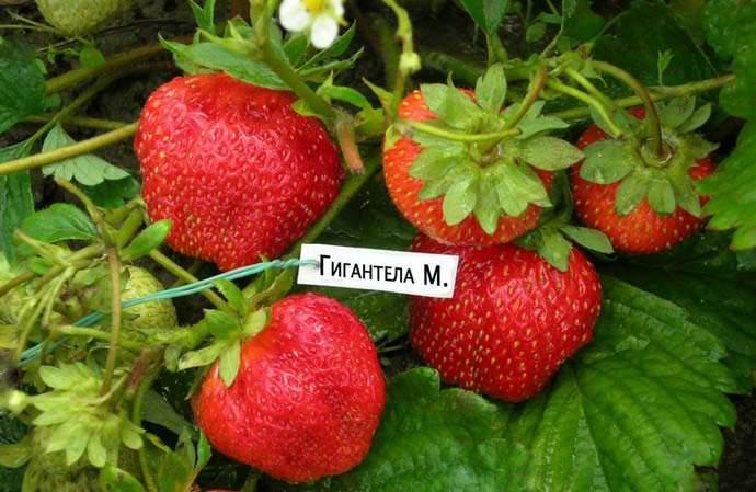 Сбор ягоды сорта «Gigantella Maxim» осуществляется по мере вызревания, но нельзя допускать переспевания урожая на кустах