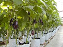 Выращивание баклажанов схоже с разведением томатов, хотя имеет свои особенности