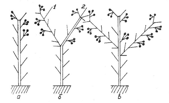 В теплице обязательно следует проводить формирование растений