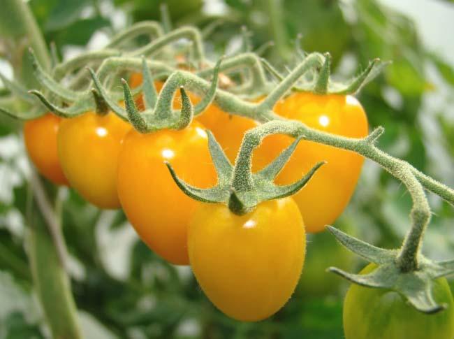 Гибридные томаты характеризуются высокой скоростью созревания и дают максимально ранний урожай