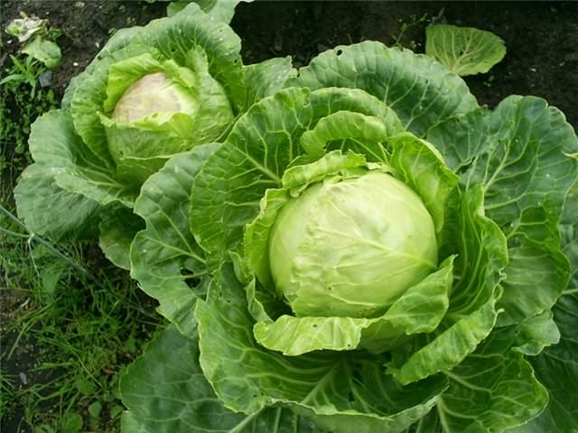 Неприхотливый и очень урожайный сорт белокочанной капусты – «Золотой гектар»