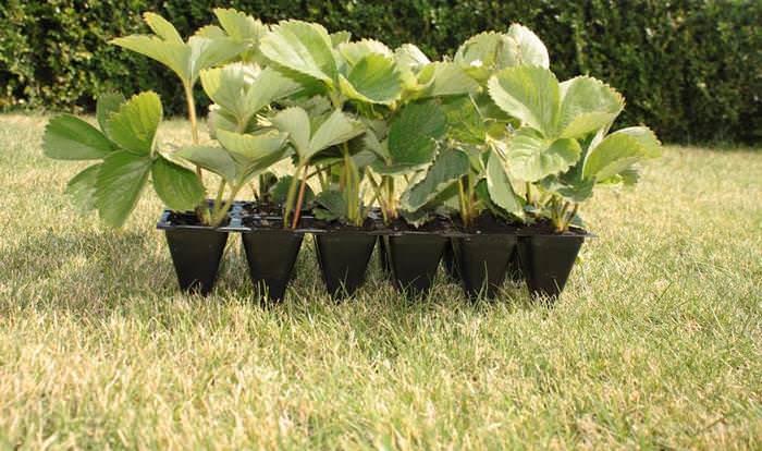 Рассадный материал перед посадкой в грунт следует выдержать примерно пять дней в прохладном помещении