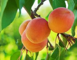Абрикос наиболее часто выращивается в южных регионах