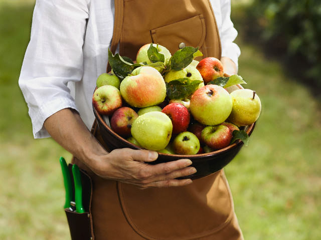 Начиная с первых чисел сентября, следует производить активный сбор урожая яблок и груш