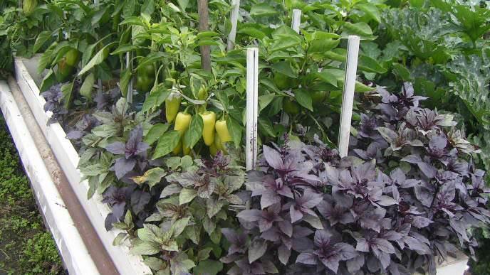 Разумное планирование смешанной посадки позволяет получать урожай овощных культур с ранней весны и до поздней осени