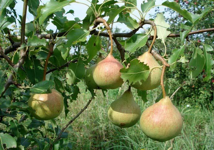 Плодоносить Яковлевская груша начинает через 4-5 лет с даты высадки