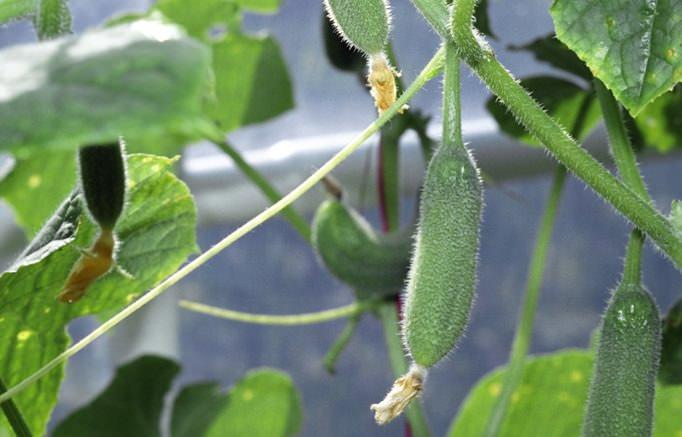 Огурцы – достаточно неприхотливые растения, главное – вовремя вносить удобрения и осуществлять полив