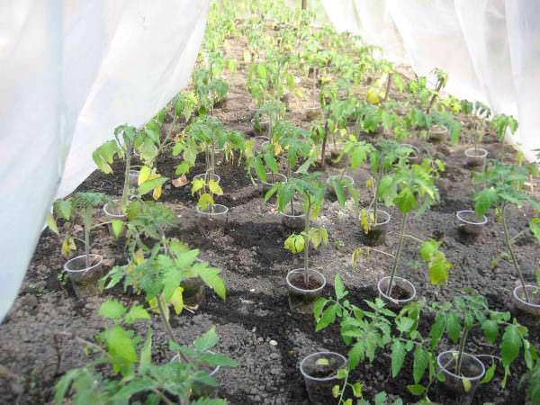 Нижние листья могут желтеть из-за недостатка азота и иных питательных веществ