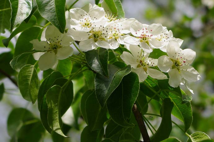 Сорт «Памяти Яковлева» может высаживаться самостоятельно, отдельно, без дополнительных растений