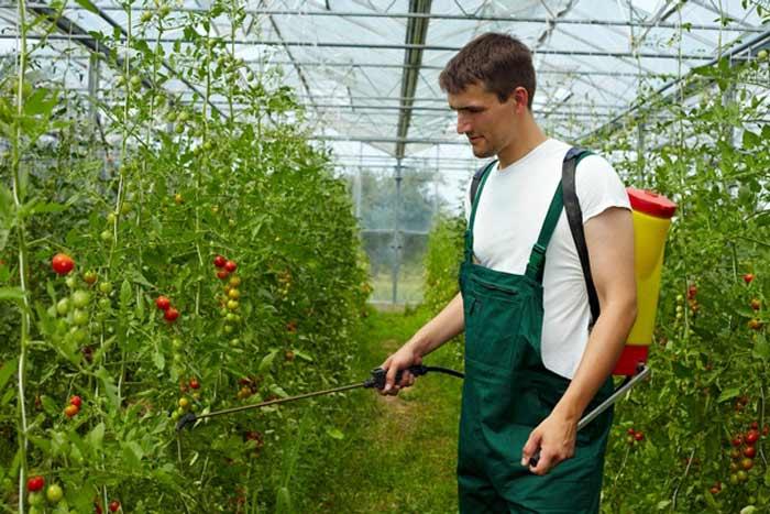 Обработка томатной рассады после высадки на постоянное место посредством специальных биологических средств очень эффективна. Можно опрыскать растения средством «Псевдобактерином-2» или раствором «Бактофит»