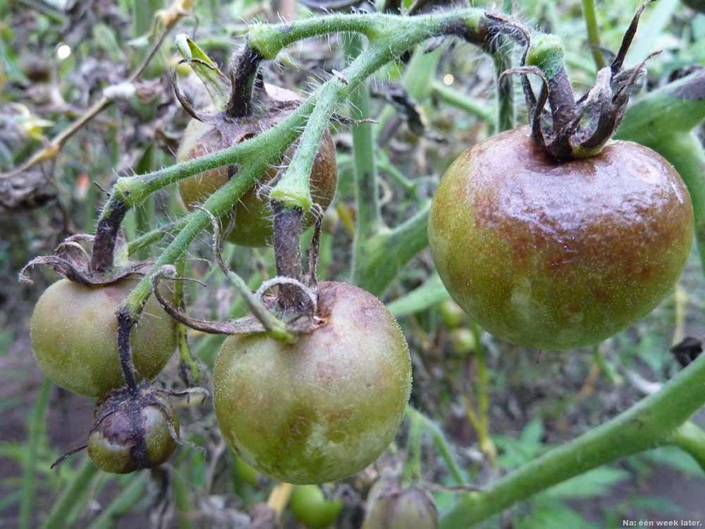 Тепличные помидоры достаточно часто подвергаются заражению фитофторой