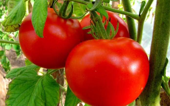 Сорт «Краснобай» – томаты отлично подходят для консервации, ровные, вкусные, с кв. м урожай получается около 40 кг