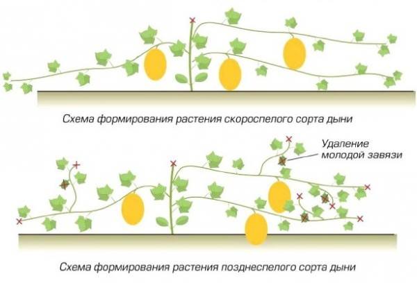 На дынях изначально следует купировать верхушечную часть растения, а боковые побеги оцениваются на толщину и мощность