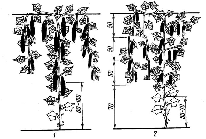 Время от времени можно выполнять осветляющую обрезку. Она требуется, чтобы рост растений не замедлялся