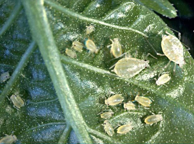 Китайская капуста при выращивании в условиях теплиц может повреждаться растительной тлей