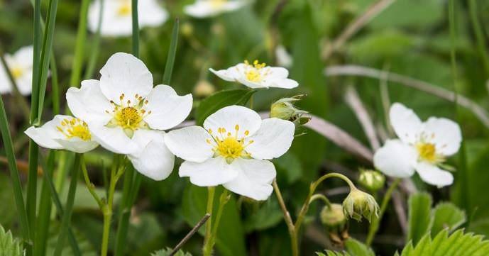 Плодоношение садовой земляники «Елизавета-2» начинается с последней декады мая и длится до последней декады сентября