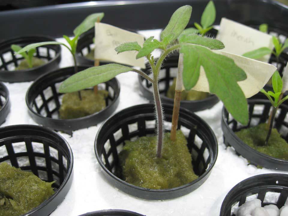 В гидропонной теплице в качестве основы берется не почва, она заменяется специальным субстратом