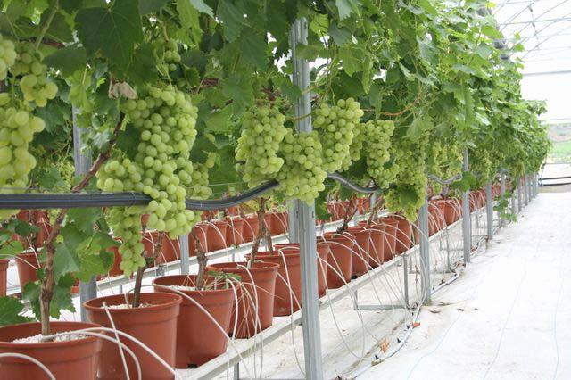 Питательные вещества к корням культур подаются через специальный водный раствор