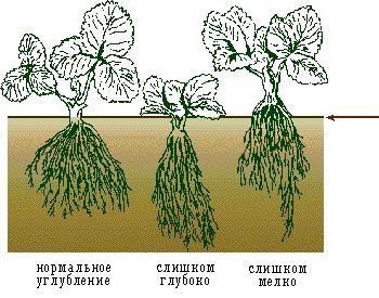 Сильно заглублять растения не рекомендуется