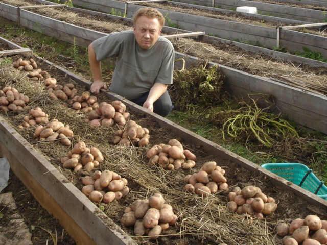 Урожайность  гряд по Миттлайдеру на порядок выше, чем на грядках в традиционном варианте исполнения