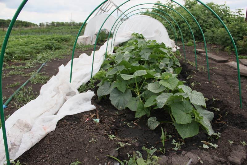 Чтобы сделать выращивание огурцов в защищённом грунте максимально эффективным, следует выполнить определённые требования