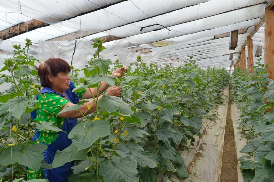Своевременная подвязка огурцов не только облегчает уход за растениями и сбор урожая, но и помогает формированию боковых побегов