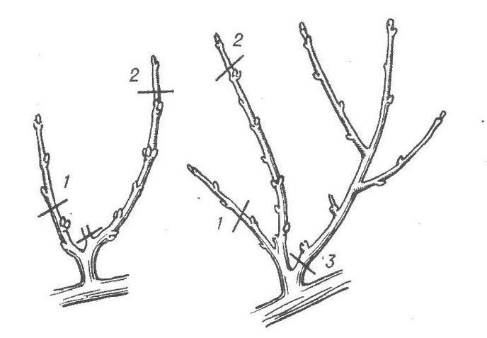 Целесообразно именно весной удалять деформированные ветви и ответвления, которые растут вглубь кроны