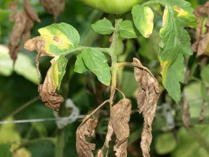 Нехватка азота отражается на стебле – он становится чахлым, листья уменьшаются и бледнеют