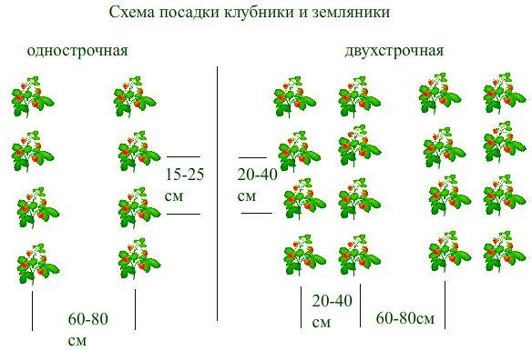 Сорт клубники «Елизавета-2» высаживается согласно стандартной схеме
