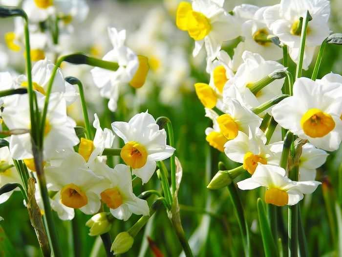 Нарциссы надо сажать осенью, причем перед посадкой луковички желательно охладить
