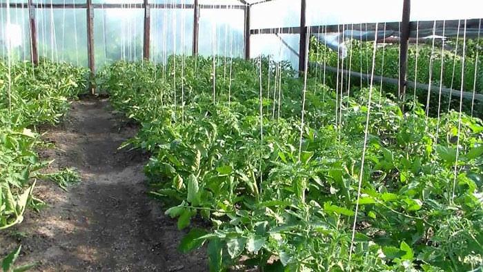 Подвязать помидоры в теплицах можно при помощи шпалер