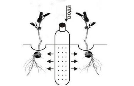 Влага через пластиковые бутылки распределяется максимально равномерно и поступательно насыщает корневую систему выращиваемых растений