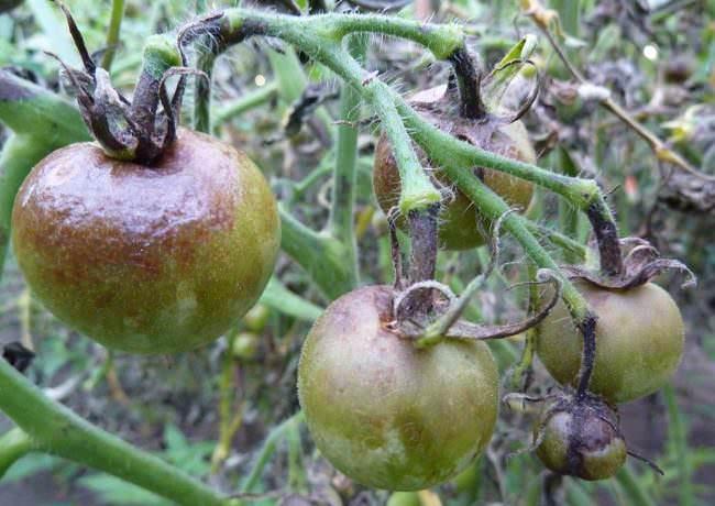 Чаще всего фитофтороз поражает тепличные помидоры